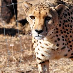 Volunteering with animals cheetah