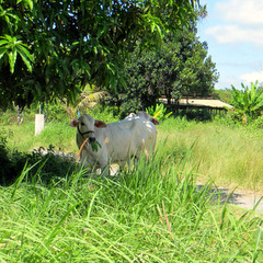 Cambodia cow in countryside