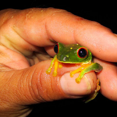 Conservation volunteering frog in Amazon