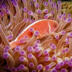 Conservation volunteering clownfish