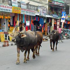 Nepal cow on street
