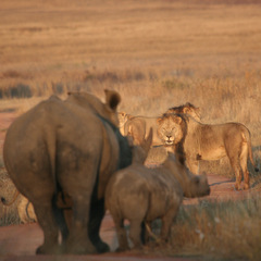 South Africa rhino and lions