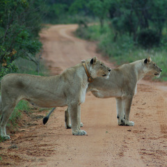 South Africa lions