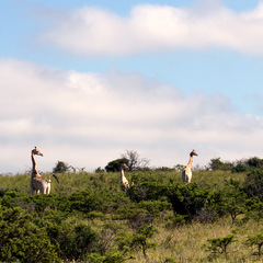 South Africa giraffes